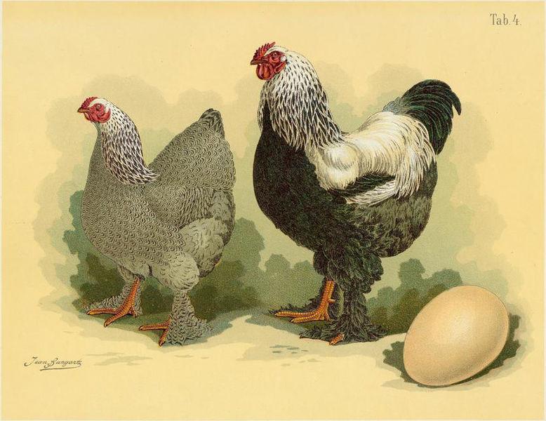 poule brahma reproduction