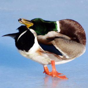 Un canard colvert se lisse le plumage