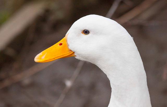 Canard de Pékin: tête