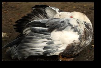 Un canard se nettoie le plumage