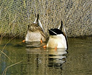 Canards colvert à la pêche