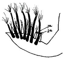Croissance lente des plumes du poussin