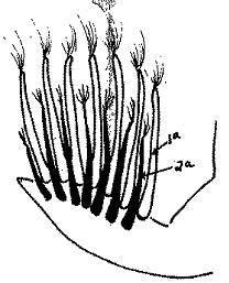 Croissance à vitesse normale des plumes du poussin