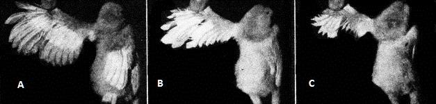 Croissances des plumes en fonction du gène T