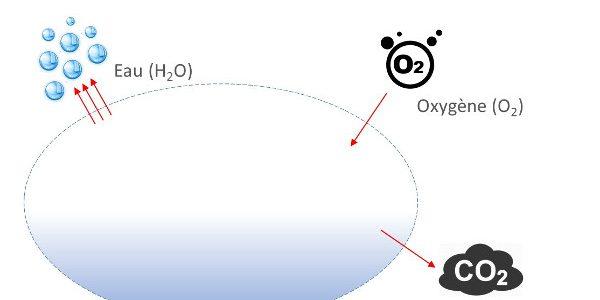 Les échanges de gaz dans un oeuf en cours d'incubation