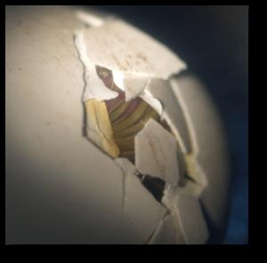 Eclosion d'un oison: la suite