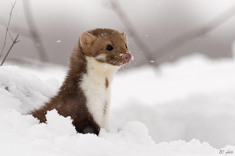 Une fouine dans la neige