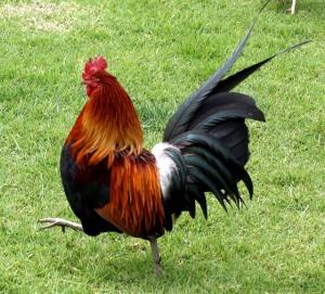 Poule rouge de la jungle Gallus gallus