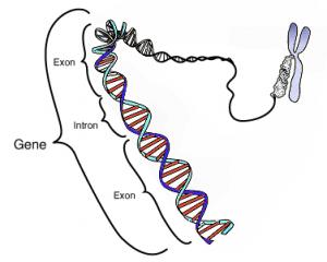 Un gène est situé sur une partie précise d'ADN ou ARN