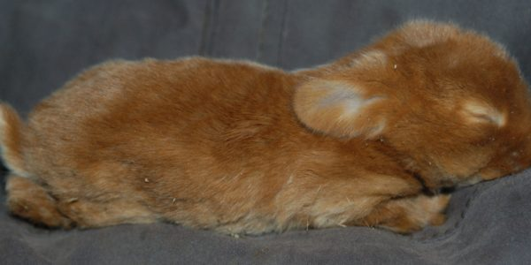 La croissance du lapin