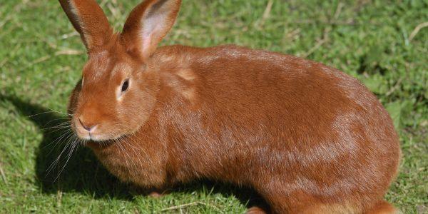 L'histoire et l'origine du lapin