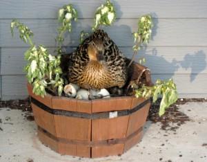 Cane qui a fait son nid dans un pot de fleurs