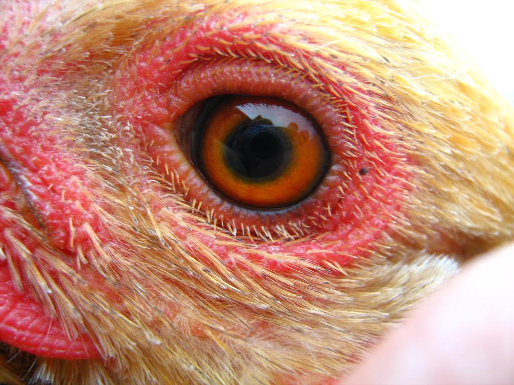 Les yeux et la vision des poules