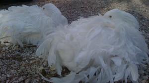 Oies de Sébastopol couchées