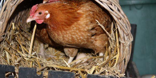 Ma poule mange ses oeufs