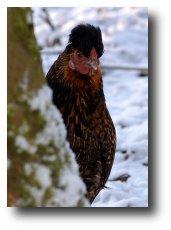 Poule en hiver