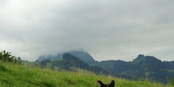 Une poule en montagne