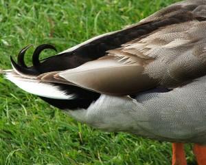 Queue d'un canard mâle avec des plumes recourbées